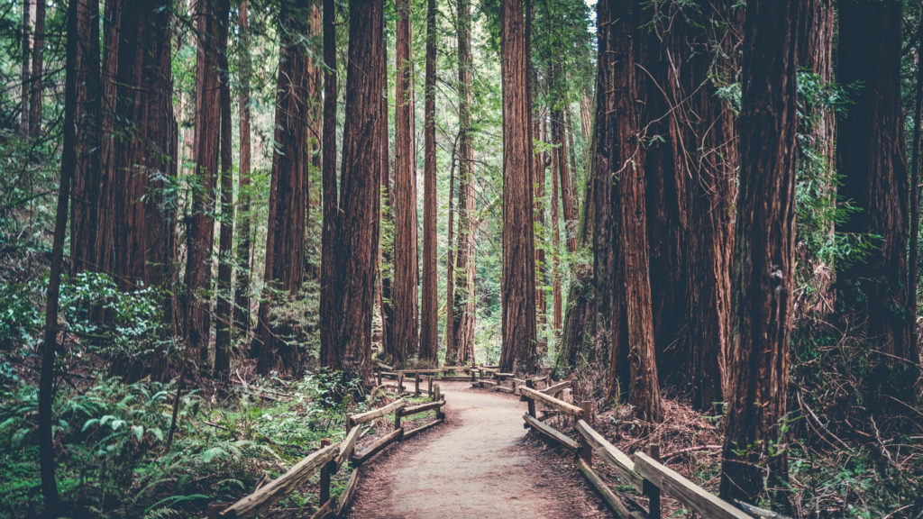 Path in the Redwoods